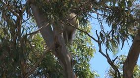 Koala climing dans un arbre banque de vidéos
