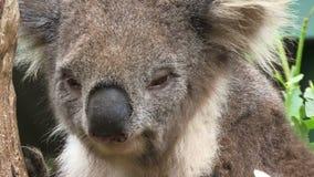 Koala close up on tree Australia close up. Koala on a tree in Australia close up stock video