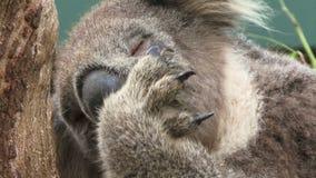 Koala close up on tree Australia cleaning itself. Koala on a tree in Australia close up licking paws stock video footage