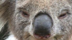 Koala close up on tree Australia looking around. Koala on a tree in Australia close up looking around stock footage