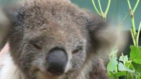 Koala close up on tree Australia on a tree. Koala on a tree in Australia on a tree stock footage