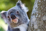 Koala Close Up In Tree. Close up photo of koala head in tree. Bright eyes clean space Stock Photo