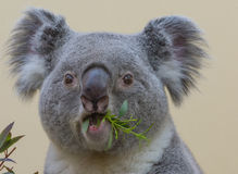 Koala closeup eating. Koala closeup while eating bamboo leaves royalty free stock photo