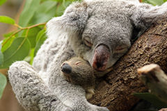 Koala com bebê fotografia de stock royalty free
