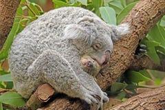 Koala con el bebé imagen de archivo