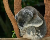 Koala curled up asleep on a ledge Stock Photography