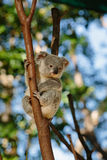 Koala at Currumbin Wildlife Park Royalty Free Stock Images