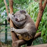 Koala in Currumbin Wildlife Sanctuary in Queensland, Australia stock photo