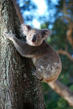 Koala in the wild Royalty Free Stock Photography