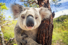 Koala. Cute Koala on the tree royalty free stock images