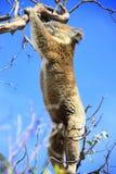 Koala d'attaccatura Immagini Stock Libere da Diritti