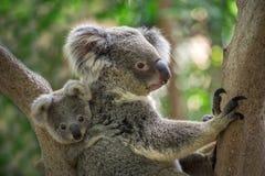 Koala da matriz e do bebê foto de stock royalty free