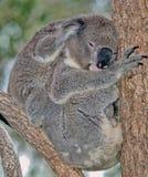 Koala da matriz e do bebê imagem de stock royalty free