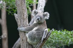 Koala dans l'arbre photo stock