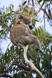 Koala dans l'arbre d'eucalyptus Images libres de droits