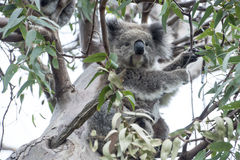 Koala dans l'arbre d'eucalyptus Image stock