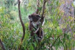 Koala dans un arbre Image stock