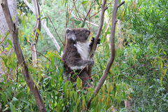 Koala dans un arbre photos stock