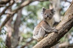 Koala das ikonenhafte Tier der wild lebenden Tiere auf Eukalyptusbaum in Nationalpark Oatway, Australien Stockbilder