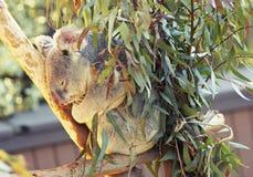 Koala de assento fotografia de stock royalty free