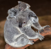Koala de bébé Photo stock