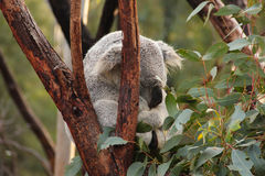 Koala in de boom Royalty-vrije Stock Foto's