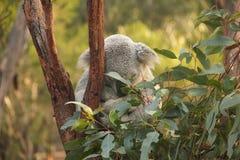 Koala in de boom Stock Foto's