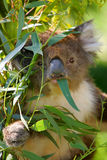 Koala de l'Australie Images stock