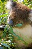 Koala de l'Australie Photographie stock