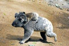 Koala de la madre con el bebé fotos de archivo libres de regalías