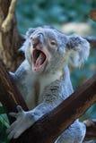 Koala de Queensland (adustus del cinereus del Phascolarctos) Fotos de archivo