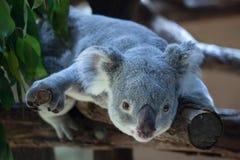 Koala de Queensland (adustus del cinereus del Phascolarctos) Imagenes de archivo
