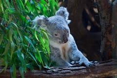Koala de Queensland (adustus del cinereus del Phascolarctos) Foto de archivo libre de regalías