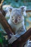 Koala de Queensland (adustus del cinereus del Phascolarctos) Fotografía de archivo