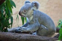 Koala de Queensland (adustus del cinereus del Phascolarctos) Fotos de archivo libres de regalías