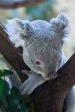Koala de Queensland (adustus del cinereus del Phascolarctos) Imagen de archivo libre de regalías