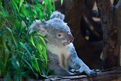 Koala de Queensland (adustus del cinereus del Phascolarctos) Foto de archivo