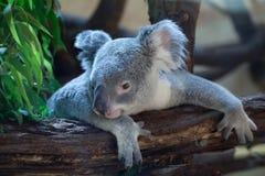 Koala de Queensland (adustus del cinereus del Phascolarctos) Imagen de archivo