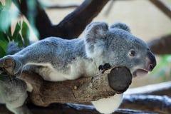 Koala de Queensland (adustus do cinereus do Phascolarctos) fotografia de stock