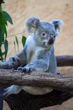 Koala de Queensland (adustus do cinereus do Phascolarctos) foto de stock