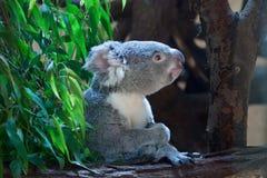 Koala de Queensland (adustus do cinereus do Phascolarctos) imagens de stock