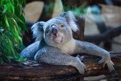 Koala de Queensland (adustus do cinereus do Phascolarctos) imagem de stock royalty free