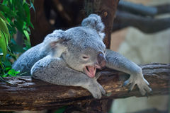 Koala de Queensland (adustus do cinereus do Phascolarctos) fotografia de stock royalty free