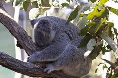 Koala de sommeil Photos libres de droits
