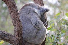 Koala de sommeil Photo stock