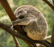 Koala de sommeil en Australie Image stock