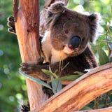 Koala de sorriso em uma árvore de eucalipto Foto de Stock Royalty Free