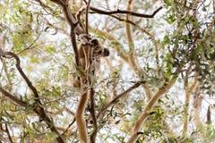 Koala in de wildernis stock foto's