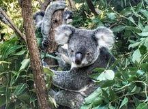 Koala in de wildernis Stock Afbeeldingen