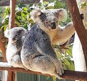 Koala del bambino e della mummia Fotografie Stock